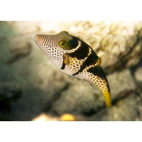 Saddled Puffer with fluorescent clown-like eyes