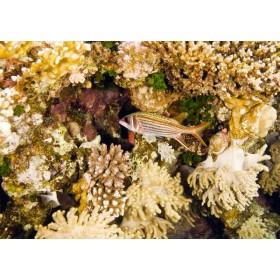 Sammara Squirrelfish amongst an array reef textures