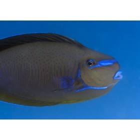 Scribbled Unicornfish, colours echoing the azure blue sea