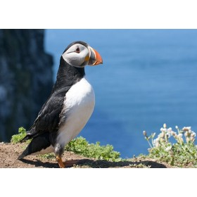 Puffins in Wales - Puffin by an aquamarine sea