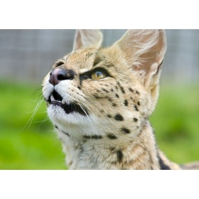 Endearing portrait of a Serval
