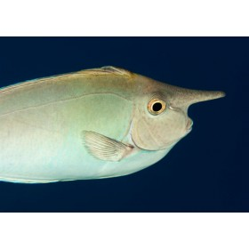 Short-nosed Unicornfish deep in a midnight blue sea