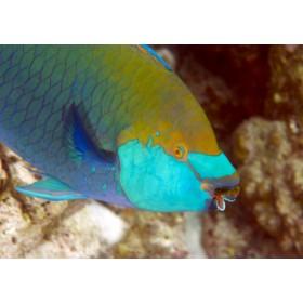Singapore Parrotfish, portrait of a golden fish