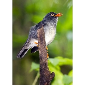 Slaty-backed nightingale-thrush singing in the cloud forest