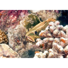 Slender Grouper hiding behind a cauliflower coral