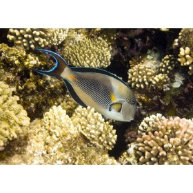 Sohal Surgeonfish shimmering in the sunlight