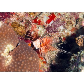 Spotfin Lionfish peeping out from fiery corals