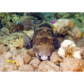 Starry Puffer catching forty winks