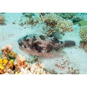 Giant of the Puffers - Stellate Puffer taking a snooze