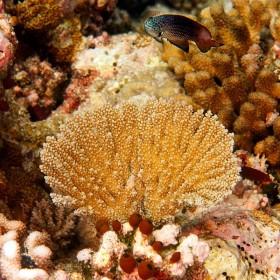 Fan shaped acropora coral guarded by a Damselfish
