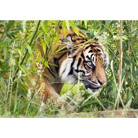 Ambush - Sumatran Tiger