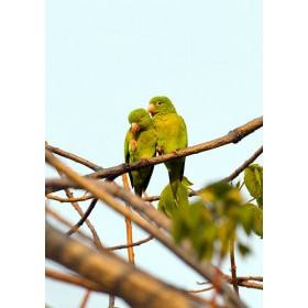 Tovi Parakeets - Romance in the evening