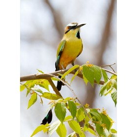 National bird of El Salvadore - Torogoz
