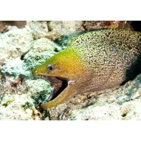 Undulated Moray Eel emerging from its lair on a reef drop-off