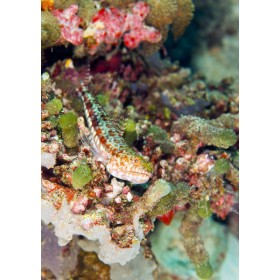Variegated Lizardfish perched on a colourful reef ledge