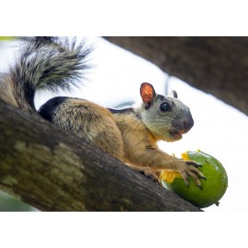 Caught ! Variegated Squirrel feasting on a Mango