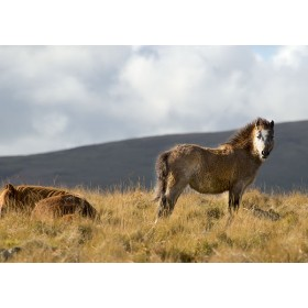 Welsh Mountain Pony high up in the Preseli Mountains