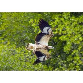 Juvenile Eagle in Flight - White-breasted Sea Eagle