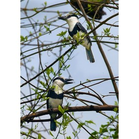 White-necked Puffbirds perched within dry tropical woodland