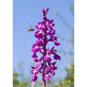 Wild Marsh Orchid with Bee