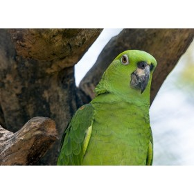 Yellow-naped Amazon close-up