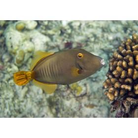 Yelloweye Filefish nibbling on cauliflower coral