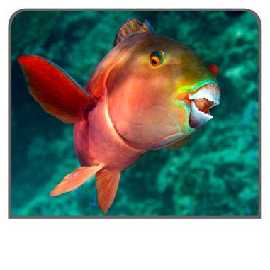 Parrotfish - The World's Beachmakers