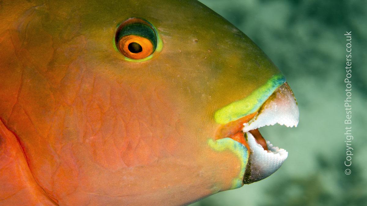 Heavybeak Parrotfish