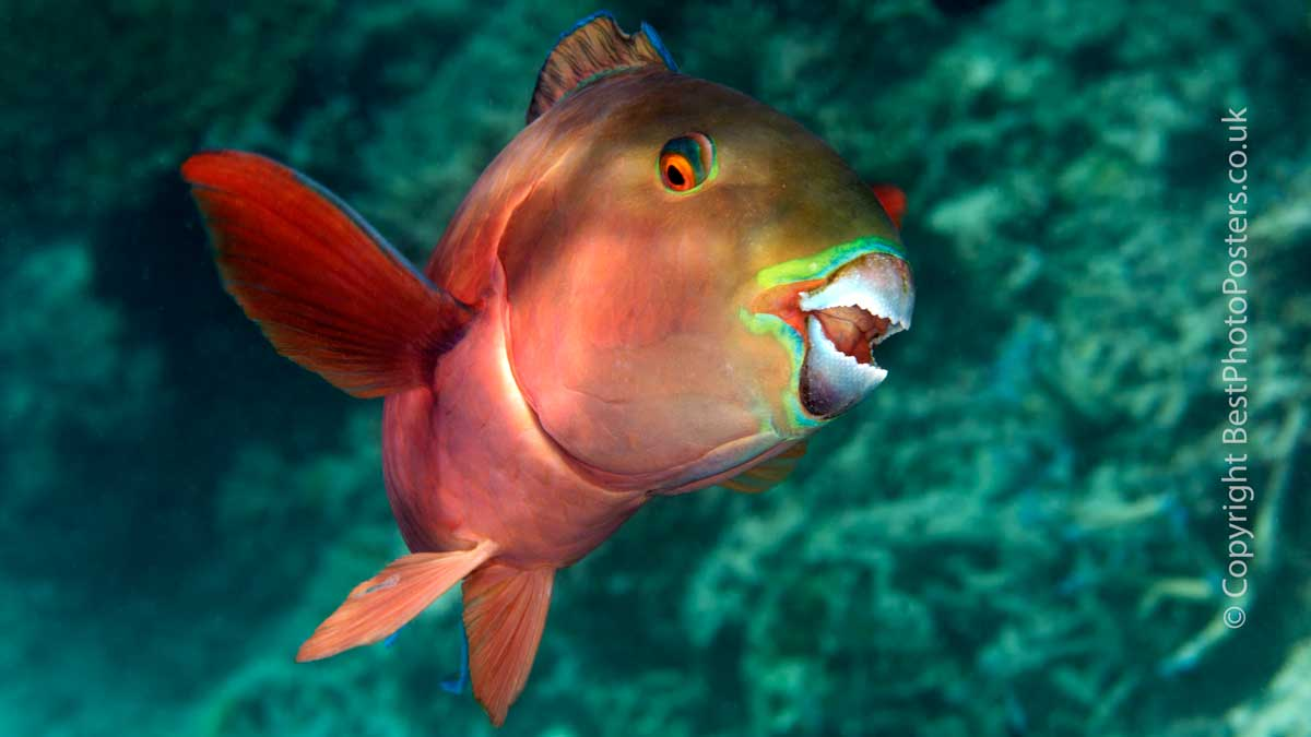 Tropical beaches made by Parrotfish