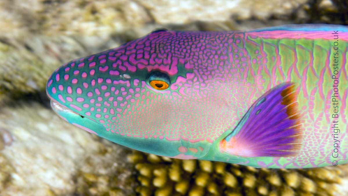 Red Speckled Parrotfish