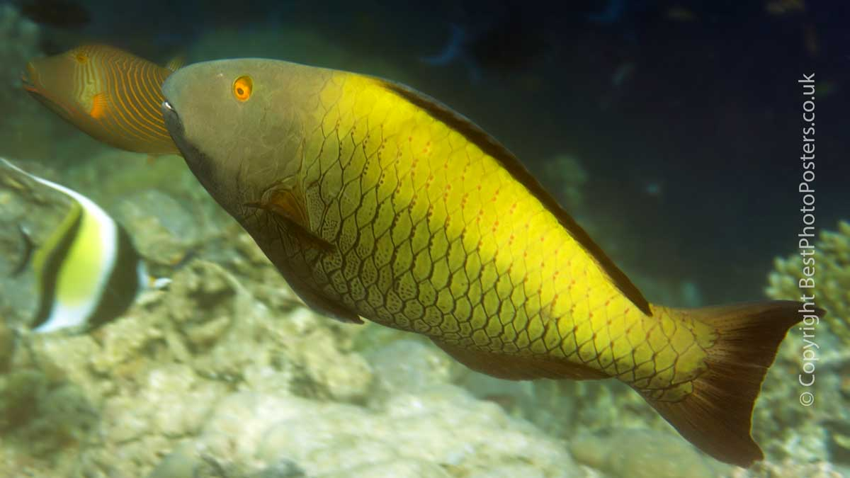 Spotted Parrotfish